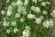 Семена душистого лука Джусай,  самая ранния весеннея овощная культура