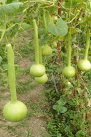 Семена лагенарии,  бутылочной тыквы,  калебасы