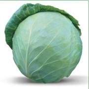 Cемена Китано. Предлагаем купить семена белокочанной капусты ХОНКА F1