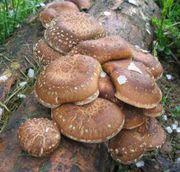 Шиитаке - грибной женьшень!