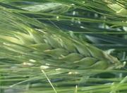 Семена ячменя озимого сорт Ерёма,  Виват,  Фокс 1,  Тимофей