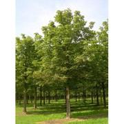 Лиственные деревья из питомника в Подмосковье